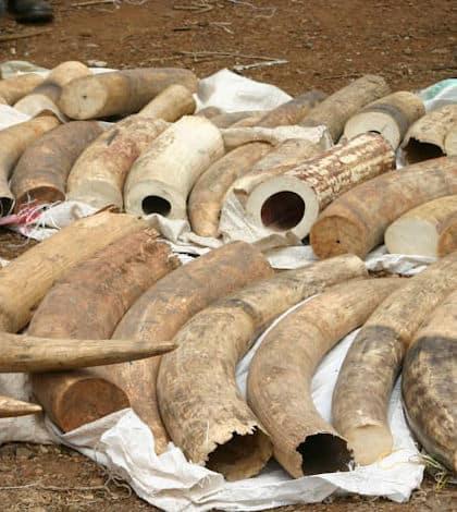 Elephant tusk burned by Kenyan President