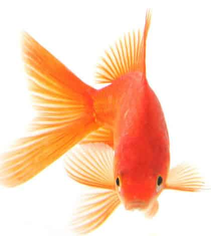 Owning just 1 pet goldfish illegal in Switzerland