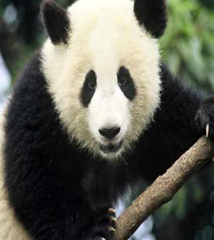 Panda Channel starts in Japan