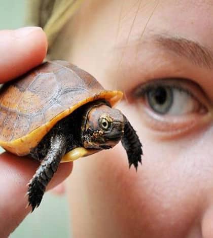 Tiny turtle born in England