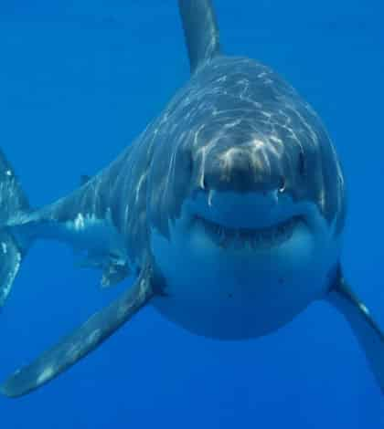 A Great White Nightmare