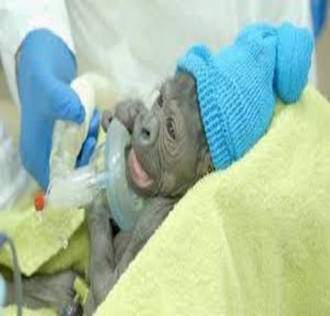 Baby gorilla born in America