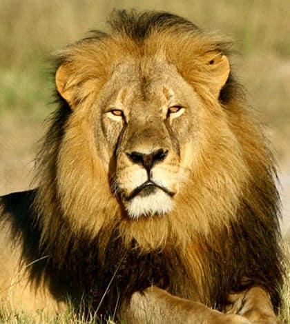 US dentist regrets killing famous lion