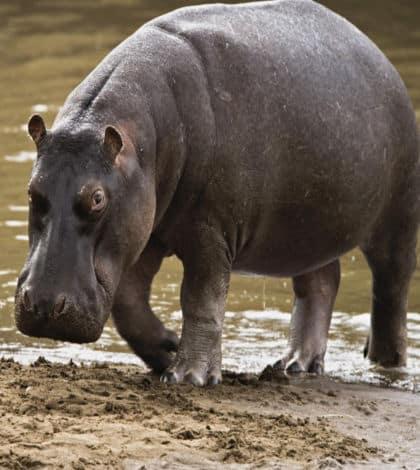 Auckland Zoo's last hippo dies