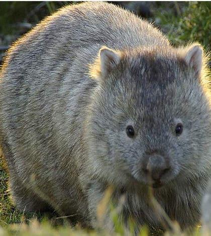 Wanna be a Wombat Cuddler?