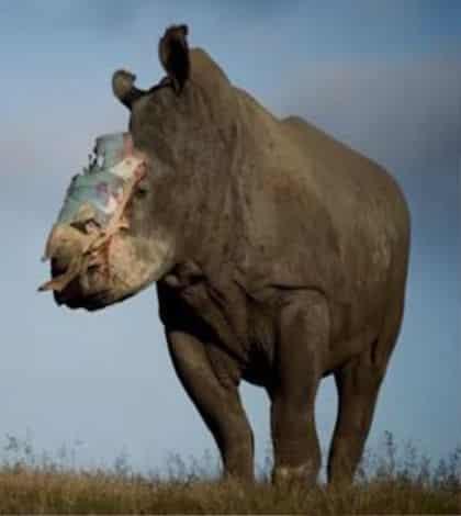 Rhino gets facial surgery