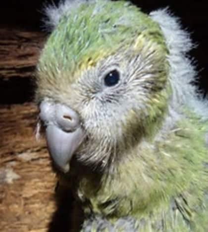Kakapo numbers hit record high