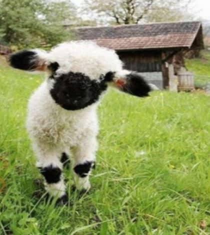 Meet the world's cutest sheep