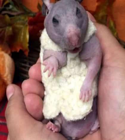 Hairless Hamster gets new coat
