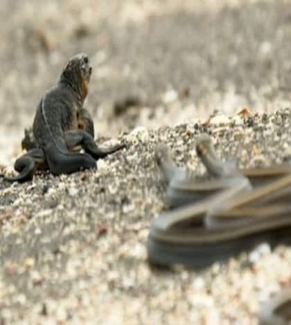 Iguana vs Snake – who will win?