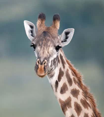 Wellington giraffe dies after operation