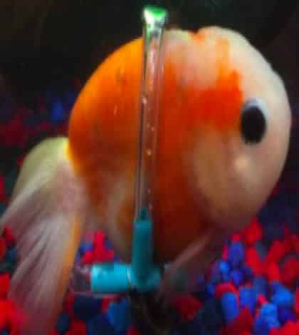 Goldfish gets floating wheelchair