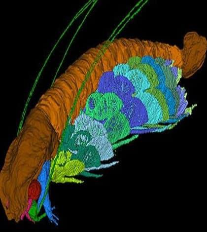 Shrimp Fossil named after David Attenborough
