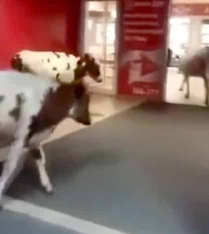 Cows invades Russian shopping mall