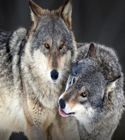 Denmark gets first wolf pack in 200 years