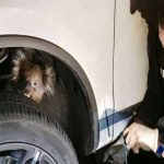 Koala hitches ride in car