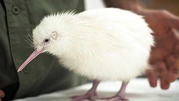 White Kiwi misses birthday due to infection