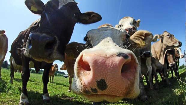 Dangerous disease hits NZ cows