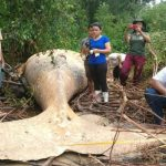 Humpback whale found 15m from ocean in Amazon Jungle