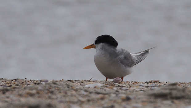Mangroves Removal May Have Caused Fairy Tern Egg Decline Kiwi Kids